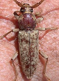 Cer Hesperophanes pubescens 2
