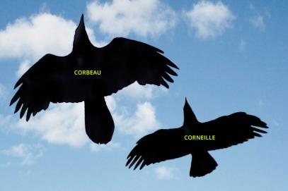 corneille-corbeaux