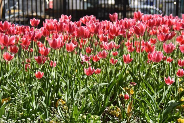 Tulipes au jardin du Luxembourg