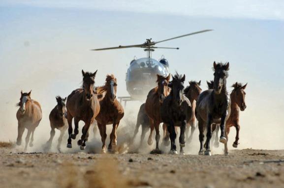wild_horse_helicopter_stampede_catoor