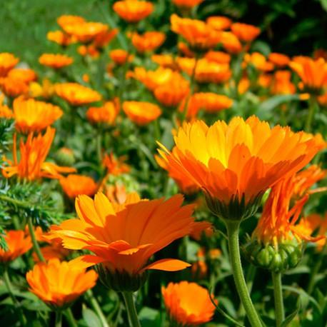 tisane-fleur-de-calendula-soucis-des-jardins