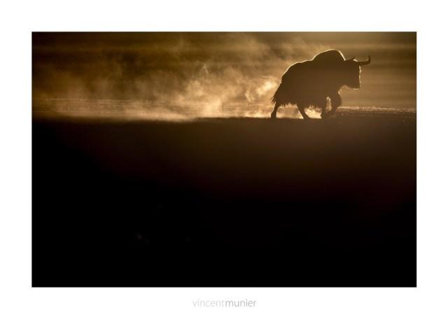 ©Vincent-Munier-TIBET094_201212-tib-MM2_9296