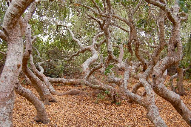 Pygmy_oak_forest_on_Morro_bay_estuary (1)